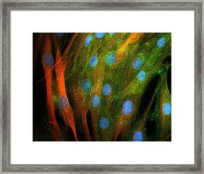Adipose Stem Cells, Light Micrograph Framed Print by Riccardo Cassiani-ingoni