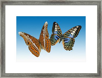 Admiral And Clipper Butterfly Framed Print by Betsy C Knapp