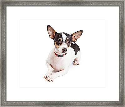 Adorable Chihuahua Dog Laying  Framed Print by Susan  Schmitz