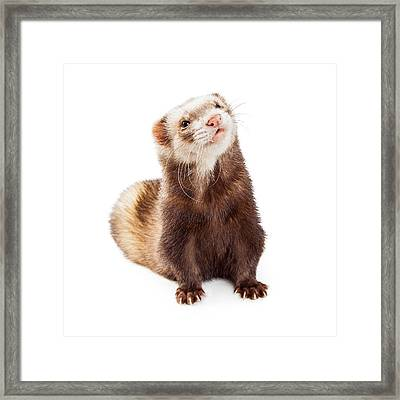 Adorable Pet Ferret Looking Up Framed Print by Susan Schmitz