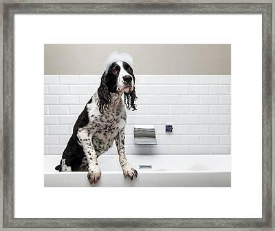Adorable Springer Spaniel Dog In Tub Framed Print by Susan Schmitz