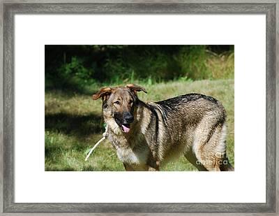 Adorable Tied German Shepherd Dog Framed Print by DejaVu Designs