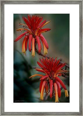 African Fire Lily Framed Print by Joseph G Holland