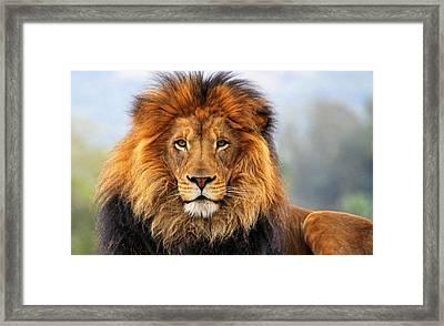 African Lion Framed Print by Ellen Henneke