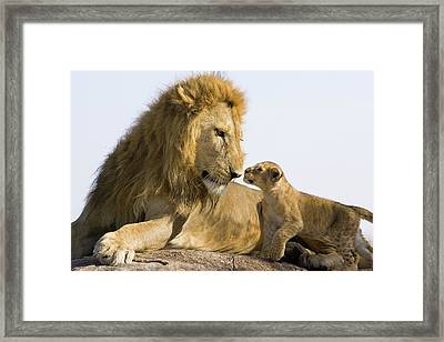 African Lion Panthera Leo Seven Framed Print by Suzi Eszterhas