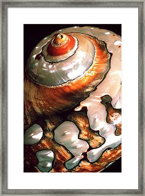African Turbo Shell Framed Print by Dirk Wiersma