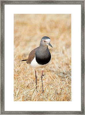 African Wattled Lapwing Vanellus Framed Print by Panoramic Images