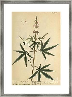 Agnus Castus, Medicinal Plant, 1737 Framed Print by Science Source