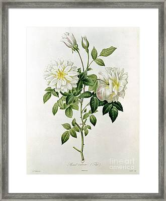 Aime Vibere Framed Print by Pierre Joseph Redoute