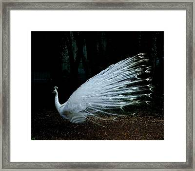 Albino Peacock Framed Print by Yvonne Ayoub