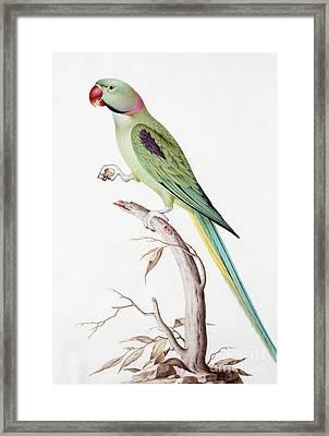 Alexandrine Parakeet Framed Print by Nicolas Robert