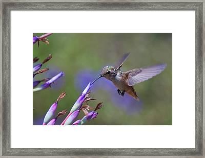 Allen's Hummingbird Framed Print by Mike Herdering