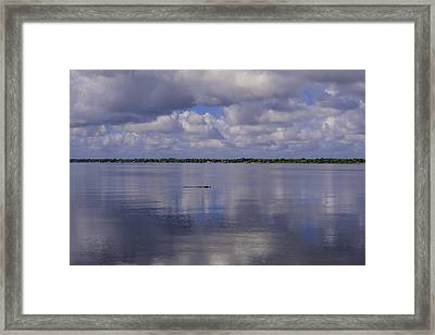 Alligator In Tranquility  Framed Print by Zina Stromberg