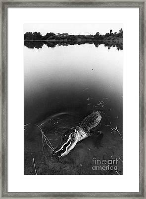 Alligator1 Framed Print by Jim Wright
