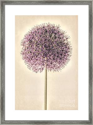Allium Alone Framed Print by John Edwards