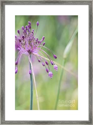 Allium Carinatum Flower Framed Print by Tim Gainey