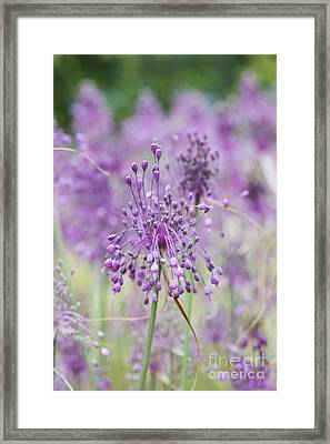 Allium Carinatum Flowering Framed Print by Tim Gainey