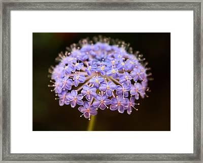 Allium Floral Framed Print by Jessica Jenney
