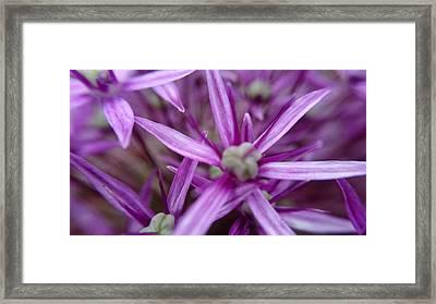 Allium Hollandicum Macro Framed Print by Ed Berlyn