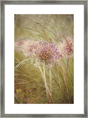 Allium Purple Sensation Framed Print by Jacky Parker Photography