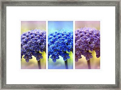 Allium Triptych Framed Print by Jessica Jenney