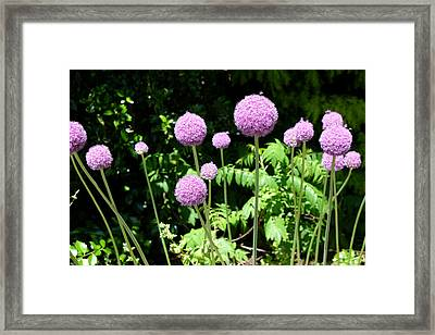 Alliums Framed Print by Mark Severn