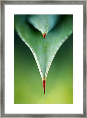 Aloe Thorn And Leaf Macro Framed Print by Johan Swanepoel