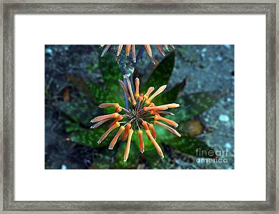 Aloe Vera Framed Print by Clayton Bruster
