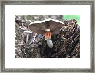 Amanita Framed Print by Chris Flees