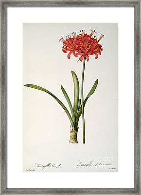 Amaryllis Curvifolia Framed Print by Pierre Redoute