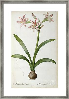 Amaryllis Vittata Framed Print by Pierre Redoute