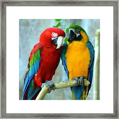 Amazon Parrots Framed Print by Dani Stites