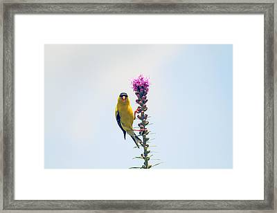 America Goldfinch On Gayfeather Framed Print by Geraldine Scull