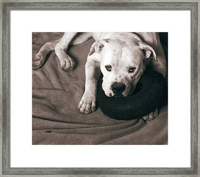 American Bulldog Portrait Framed Print by Miss Pet Sitter