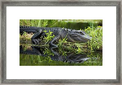 American Alligator In The Wild Framed Print by Dustin K Ryan