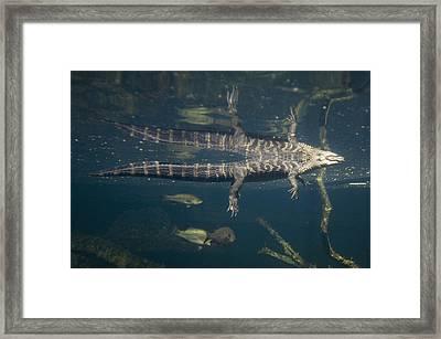 American Alligators From The Omaha Zoos Framed Print by Joel Sartore