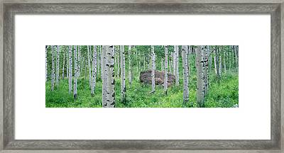 American Aspen Trees In The Forest Framed Print by Panoramic Images