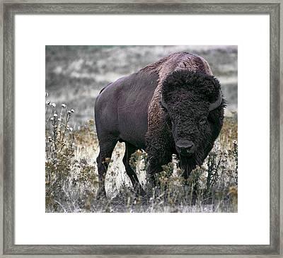 American Bison Framed Print by Daniel Hagerman