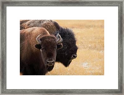 American Bison Framed Print by Juli Scalzi