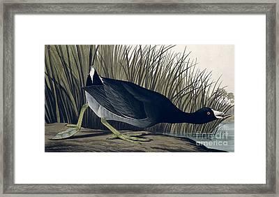 American Coot Framed Print by John James Audubon
