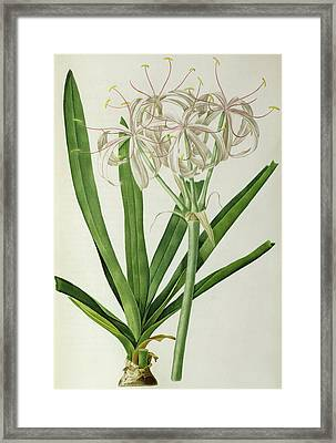 American Crinum Lily Framed Print by Pierre Joseph Redoute