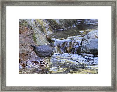 American Dipper Framed Print by Angie Vogel