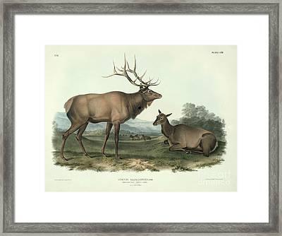 American Elk Framed Print by John James Audubon