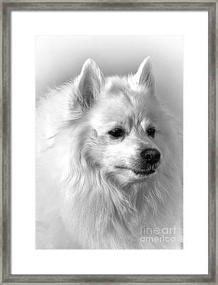 American Eskimo Dog Framed Print by Olivier Le Queinec