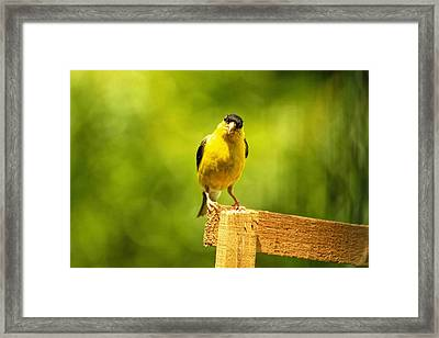 American Gold Finch On Fence Framed Print by Geraldine Scull