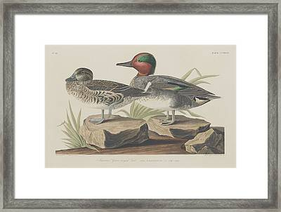 American Green-winged Teal Framed Print by John James Audubon