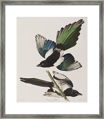 American Magpie Framed Print by John James Audubon