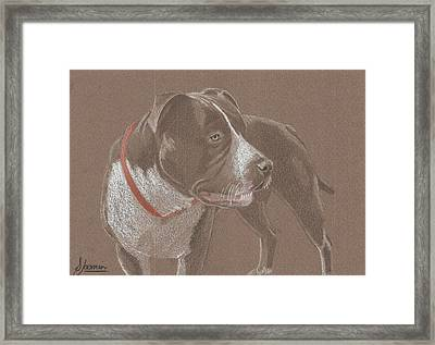 American Pit Bull Terrior 1 Framed Print by Stacey Jasmin