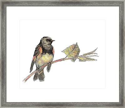 American Redstart Framed Print by Abby McBride