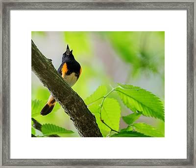 American Redstart Framed Print by Bill Wakeley